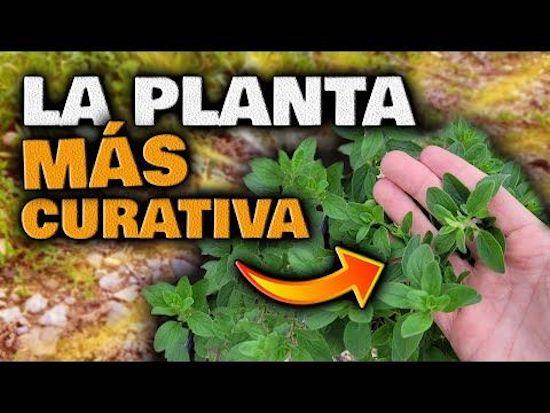 Esta es la planta mas curativa, cura todas estas enfermedades